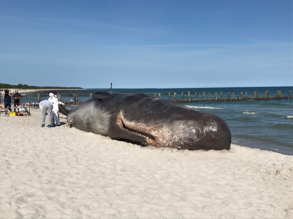 Blogeintrag: Gestrandeter Wal in Zingst